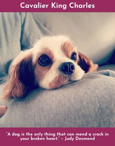 Go to the webpage to learn more about Cavalier King Charles #cavs Please click here for more information...