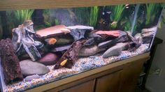 African Cichlids and Brown Knifes