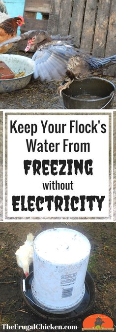 Concerned about keeping your flock flush with fresh water when the mercury dips? Here's 5 tips to keep their water from freezing - without electricity. Raising Backyard Chickens, Backyard Poultry, Keeping Chickens, Pet Chickens, Backyard Ducks, Backyard Birds, Rabbits, Gallus Gallus Domesticus, Building A Chicken Coop