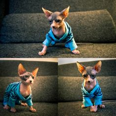 hairless cat in pajamas. one of the best things i have ever seen.