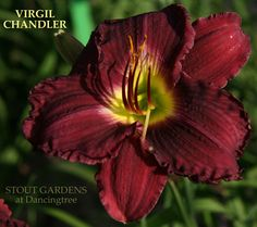 "Daylily 'Virgil Chandler"" [""(H. Stout 2013) 31"" (78.74) 6"" (15.24) EM. Sev. RE. Strong growing deep purple.""]"