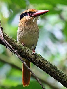 Lilac-cheeked Kingfisher,Raja-udang pipi-ungu (Cittura cyanotis); endemic bird: Sulawesi and Lembeh
