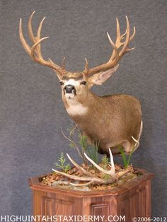 Mule Deer  High Uintahs Taxidermy