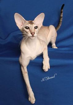 Kuan Jin Cattery - Oriental Shorthair Cats - Companions for Life!