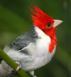 The Red-crested Cardinal (Paroaria coronata) is found in northern Argentina, Bolivia, southern Brazil, Paraguay and Uruguay. Its natural habitats are subtropical or tropical dry shrubland and heavily degraded former forest. Among other regions, it is found in southern part of the Pantanal. This is an amazingly beautiful photo.  Well done!