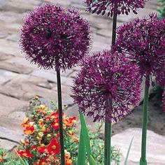 Allium Purple Sensation - popular round SE22. I like.