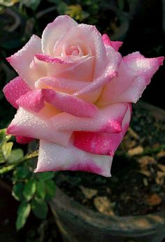 This is you.. A beautiful rose..