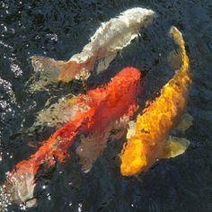 frangipania:White - Red - Gold  (Kois in a pond in Mae Sai...