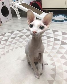 wild and pets comparison of adjectives exercises, and pets zenger folkman, pets and cambodia airlines and flight, animals and pets klub crtani filmovi sa. Pretty Cats, Beautiful Cats, Animals Beautiful, Cute Baby Animals, Animals And Pets, Funny Animals, Wild Animals, Cute Hairless Cat, Sphinx Cat