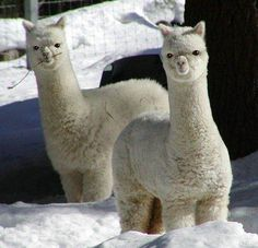 this is what happens when a poodle mates with a giraffe....not really....alpaca babies