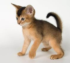 Abyssinian Kitten Surprised! by PicturesOfCats, via Flickr
