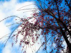 ボストンテリアのカールさんの暮らし: 今日はお散歩しながらお花見を楽しみましたよ。