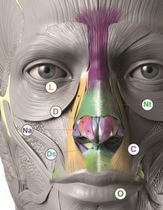Exceptional Drawing The Human Figure Ideas. Staggering Drawing The Human Figure Ideas. Head Anatomy, Gross Anatomy, Anatomy Poses, Anatomy Study, Anatomy Art, Anatomy Drawing, Anatomy Reference, Facial Muscles Anatomy, Muscle Anatomy