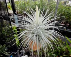 Tillandsia tectorum var.tectorum f.gigantea - hairy air plant - Resembling something between a spider and centipede with white legs, roof airplant has very narrow leaves that are lined with fuzzy white hairs. It is a frost-tender perennial bromeliad from the higher elevations of the northern Andes in South America. Unlike many other Tillandsia species, it is better adapted to areas with lower humidity and more intense sunlight. It is a lithophyte, which means it naturally grows on rocks.