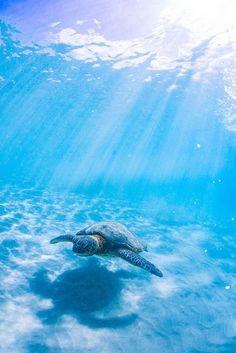 Kona Hawaii by Shin Okamoto Hawaii Pictures, Beach Pictures, Beautiful Ocean Pictures, Blue Pictures, Animals Tattoo, Image Bleu, Photo Bleu, Baby Sea Turtles, Light Blue Aesthetic