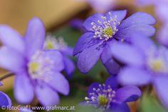 Früh, früher, Leberblümchen - Wenn nach dem Winter die ersten wärmeren Sonnenstrahlen auf den Waldboden fallen, zählen sie zu den ersten, die etwas davon mitbekommen. Ab Mitte März recken die Leberblümchen ihre Blütenköpfe in die Höhe. Wie abwechslungsreich sich diese gestalten können und was es alles mit den dreilappigen Laubblättern des kleinen Pflänzchens auf sich hat, gibt's ab heute im NP Thayatal Blog nachzulesen: http://blog.np-thayatal.at/