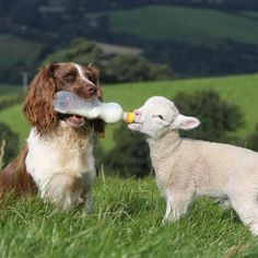 Dog bottle feeding a lamb