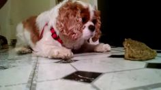 Cavalier King Charles Spaniel Meets a Toad