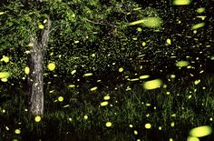 Incredible Long-Explosure Firefly Photography