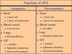 functions of autonomic nervous system Neurological System, Endocrine System, Nervous System Anatomy, Nursing Tips, Nursing Pneumonics, Pharmacy School, Nursing School Notes, Autonomic Nervous System, Pharmacology Nursing