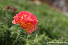 Red persian buttercup (8) Persian Buttercup, Flower Pictures, Colorful Flowers, Red And White, Plants, Pink, Flower Photos, Plant, Pink Hair
