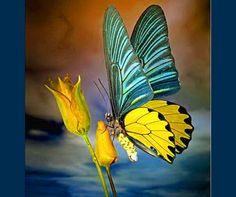 Blue & Yellow Butterfly