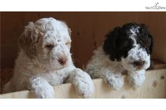 Duckett Lagotto puppies at Lagotto Romagnolo of Canada/Duckett Truffiers