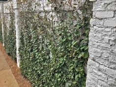 Plants for Dallas - Your Source for the Best Landscape Plant Information for the Dallas-Ft. Worth MetroplexBest Vines for Dallas, Texas — Vertical Vegetable Gardens, Indoor Vegetable Gardening, Container Gardening, Wall Climbing Plants, Climbing Vines, Vine Fence, Fast Growing Vines, Ficus Pumila, Backyard Playground