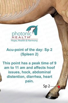 Acu-point of the day: Sp 2 (Spleen 2) This point has a peak time of 9 am to 11 am and affects hoof issues, hock, abdominal distention, diarrhea, heart pain. http://www.lechevalaunaturel.blogspot.ca/p/blog-page_14.html