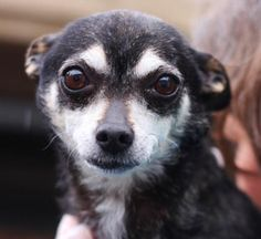 Madison is a mature lady who is a 6-year-old Chihuahua mix filled with nothing but love. With her bright eyes and perky ears, she doesn't miss much. Madison was ADOPTED! from Seattle Humane, March 2016