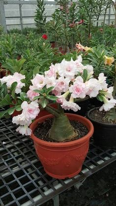 Desert Rose Plant, Beautiful Flowers Garden, Clematis, Cactus Plants, Girl Tattoos, Orchids, Succulents, Lily, Gardening