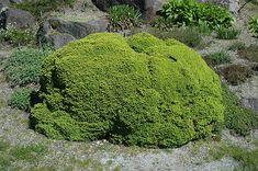 little gem norway spruce | ... of Little Gem Spruce (Picea abies 'Little Gem') at The Growing Place