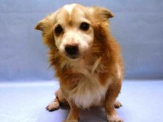 RETURN!!!!***  3/17/17 -- *13 YRS OLD!!**  SUPER URGENT  CAMERON aka RUSSELL – A0984002   MALE, BROWN / GRAY, CHIHUAHUA LH MIX, 13 yrs OWNER SUR – Reason LLORDPRIVA Intake condition GERIATRIC