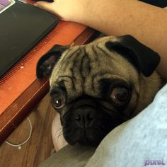 Stop Interneting! #pixelpugprincess #pugs