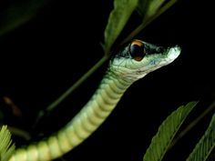 Photograph by Michael Nichols    A green tree snake peers from its leafy perch in Costa Rica's Caribbean lowland. These tropical rain forests surround the famed La Selva Biological Station, a center for ecological research.