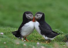 Puffins... I LOVE them.  I collect puffin everything.  Lamps, pics, stuffed toy puffins, you name it.  I want a real one!!