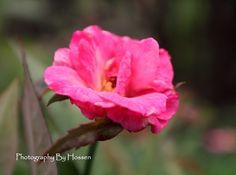 Pink Color Rose