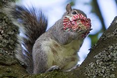 In pictures: The teacake munching Glasgow squirrel - Daily Record