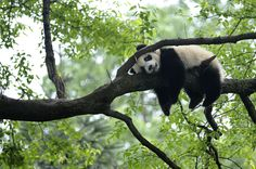 "A giant panda rests on a tree at ""panda kindergarten"" inside Bifengxia giant panda base in Ya'an, Sichuan province, on April 26, 2013."