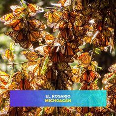 Próximamente podremos disfrutar uno de los sucesos más importantes para los michoacanos, la llegada de la mariposa Monarca. Visita Michoacán y sé parte de este hecho.  #HotelVillaMontaña #Michoacán