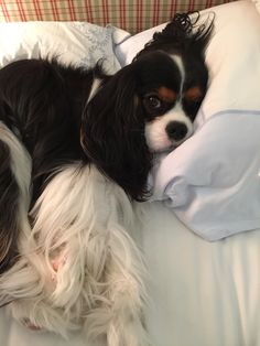 """Tri-colour Cavalier King Charles Spaniel:  """"They never sulk, they never tire; they love the field, they love the fire.  They never criticize their friends; their every joy all joy transcends.""""  (Extract From A Poem By: E.V. Lucas 1868 - 1938.)"""