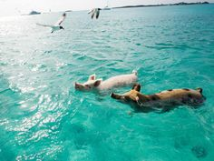 Bet you never thought of swimming with pigs as an adventure on your next vacation in the Bahamas. But that's just what visitors can do on Big Major Cay, aka Pig Beach, in the Exuma archipelago. There are several theories on how the growing colony of 20 or so pigs landed on the island, but with 1 snort from those adorable sandy snouts, you won't even care.
