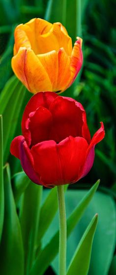 ~~Showoffs • tulips • by Steve Harrington~~