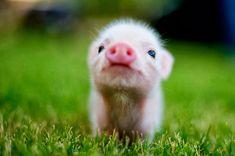 Cute baby piggy😘
