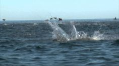 Manta Ray's Jumping off the coast of Cabo San Lucas. To see more visit http://www.fishing-cabo.com