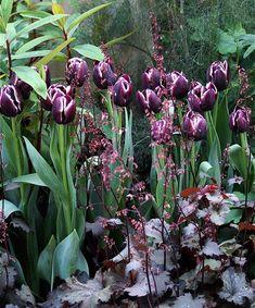 Tulips and heuchera Tulips Garden, Planting Flowers, Beautiful Gardens, Beautiful Flowers, Gothic Garden, Purple Tulips, Heuchera, Garden Borders, Black Flowers