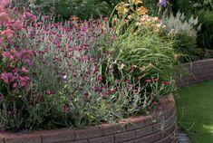 Kuva: Nurmikon leikkuu helpottuu, jos reunuksen eteen upotetaan tiiliä tai betonikiviä hiekka- tai kivituhkakerroksen päälle. Penkissä kukkivat karmiininpunaiset syysleimu ja harmaakäenkaali sekä tarhapäivänlilja. Helppohoitoisen ja vuodesta toiseen kukoistavan kukkapenkin salaisuus on ravinteikas, kosteutta pidättävä, ilmava ja rikkaruohoton kasvualusta. Parhaan henkivakuutuksen kasveilleen saa, kun ostaa mullan vain sellaisilta toimittajilta, joilla on kasvualustalleen lakisääteinen…