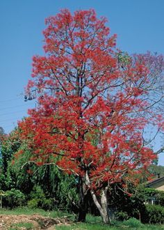 The two best known deciduous Australian species are the red cedar (Toona ciliata) and the white cedar (Melia azedarach). Both of these occur in subtropical rainforests of Queensland and New South Wales