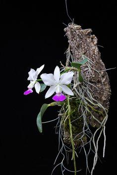 salabat Cattleya walkeriana S/A 'H Orchid Flower Arrangements, Orchid Planters, Orchid Pot, Orchid Flowers, Unusual Plants, Rare Plants, Exotic Plants, Indoor Orchids, Orchids Garden