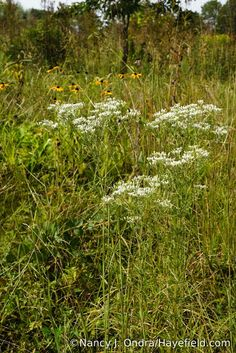 Eupatorium (Eutrochium) hyssopifolium in September, southeast Pennsylvania.  Spotted in bloom at the trash bins behind the quarry in late September 2017.
